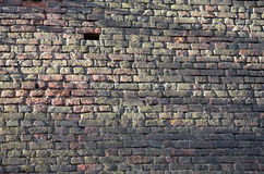 Green brick wall. Old brick wall completely covered with green algae Stock Image