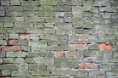Green brick wall. Old brick wall covered with green moss Royalty Free Stock Images