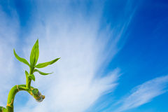 Green bright bamboo at blue sky with clouds background Royalty Free Stock Photos