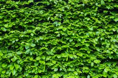 Green bright bush shrub leaves texture. Front view of the bush. Bright green texture.  stock image