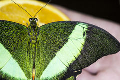Green bright butterfly Stock Photo