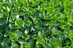 Green bright garden plant, texture closeup. Green plant grown in garden Stock Photography