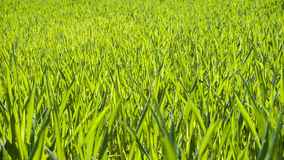 Green bright grass Royalty Free Stock Images