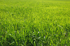Green bright grass for background, Rome Royalty Free Stock Photo