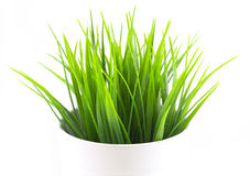 Green bright grass in white pot Stock Images