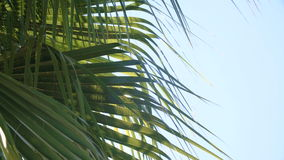 Green and bright palm leaves in wind against blue sky. Green and bright palm leaves in the wind against the blue sky stock video