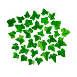 Green bright pattern made of ivy leaf. Ornament of green leaves ivy isolated on white background Royalty Free Stock Images