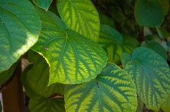Green kiwi leaves on the vine, close up Royalty Free Stock Images