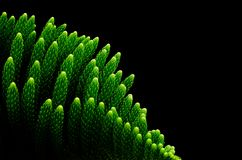 Green bright of Star pine leaves Norfolk island pine royalty free stock images