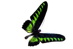 Green brilliant butterfly Stock Photo