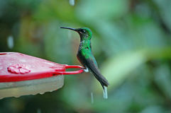 Green brilliant hummingbird at feeder in in rain Royalty Free Stock Photography