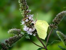 Green brimstone butterfly. Green common brimstone butterfly (Gonepteryx rhamni) on peppermint flower Stock Images