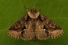 Green-brindled Crescent, Allophyes oxyacanthae Royalty Free Stock Photo