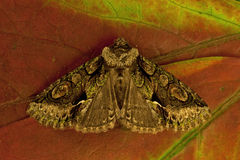 Green-brindled Crescent, Allophyes oxyacanthae Royalty Free Stock Images