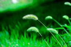 Green bristle grass Stock Image