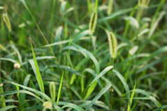Green bristle grass 2 stock images