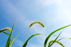 Free Green Bristle Grass , Clouds And Sky Royalty Free Stock Image - 5837426