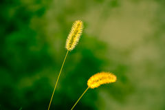 Green bristle grass Reed Royalty Free Stock Photography