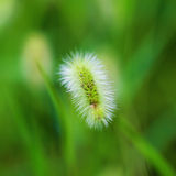 Green bristlegrass Stock Photography