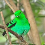 Green Broadbill Royalty Free Stock Image