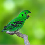 Green Broadbill Bird Stock Image