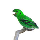 Green Broadbill Bird Stock Photography