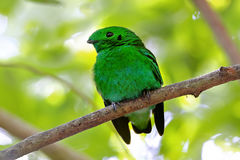 Green Broadbill Calyptomena viridis Male Cute Birds of Thailand Royalty Free Stock Image