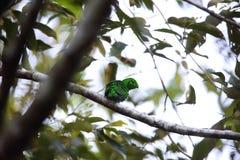 Green Broadbill Stock Photo