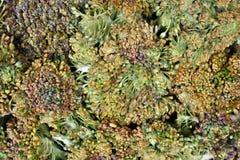 Green broccoli Stock Photography
