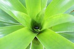 Green bromeliad close up Stock Photos