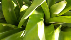 Green bromeliad close-up Stock Images
