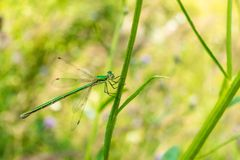 A green-bronze beautiful dragonfly sits on a blade of grass. Photo flying insect close-up. Royalty Free Stock Photos