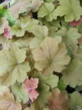 Green bronze coral bells Stock Images