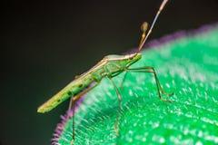 A green, brown Assasin bugs Stock Photography