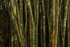 Green and Brown Bamboo Trees Royalty Free Stock Photos
