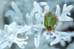Green and Brown Bug on White Leaf Stock Photos