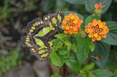 Green and brown butterfly. Green and brown burly near orange flowers green leaves Stock Photos