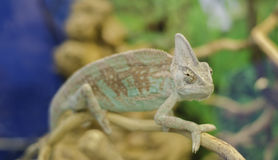 Chameleon. Green-brown chameleon crawling on a branch on a green background Stock Images