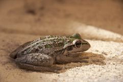 Green and Brown Frog Royalty Free Stock Photo