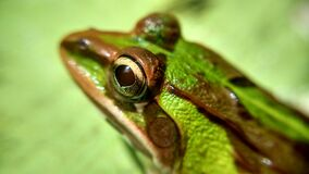 Green and Brown Frog Stock Photography