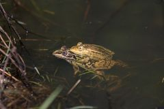 Frogs in a pond royalty free stock photo