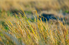 Green and brown grass Royalty Free Stock Photography