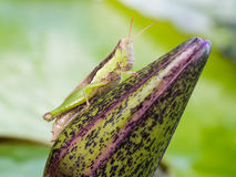 Green and Brown Grasshopper Royalty Free Stock Photo