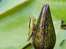 Green and Brown Grasshopper Stock Photos