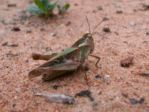 Green-Brown grasshopper on sand ground in Swaziland Stock Images