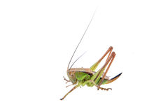 Green brown grasshopper on a white background Stock Images