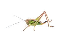 Green brown grasshopper on a white background Stock Photos
