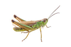Green brown grasshopper on a white background Royalty Free Stock Photos