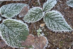 Green and brown leaves in frost on cold ground. Winter forest. Frozen plants closeup. royalty free stock photos