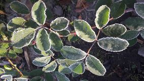 Leaves caught in a frost covered in ice crystals royalty free stock photography